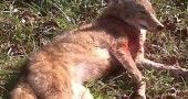 Delaware Coyote Bow Kill